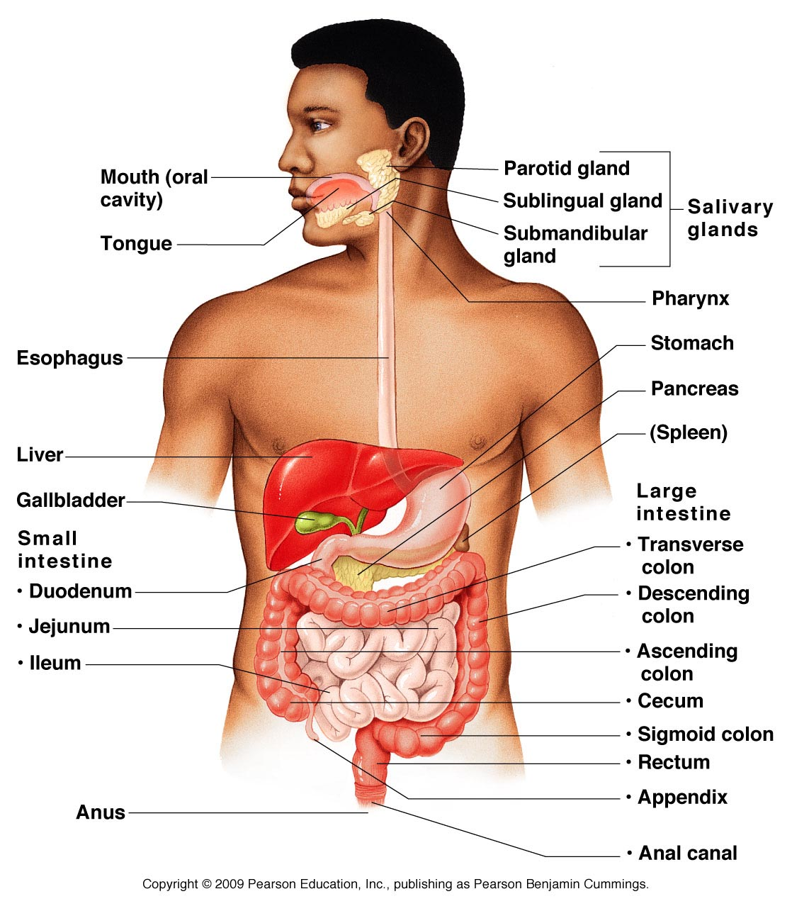 Organ Systems Of Human Body And Their Functions 11