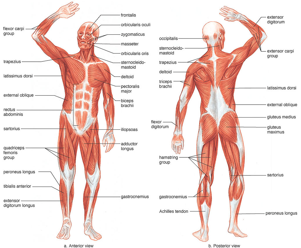 Muscular System Parts 82