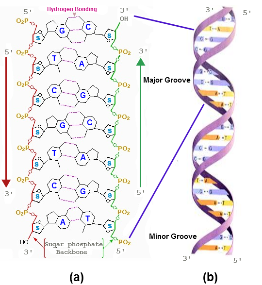 Nucleic Acids  U2014 Knowing A Little About Your Dna And Rna
