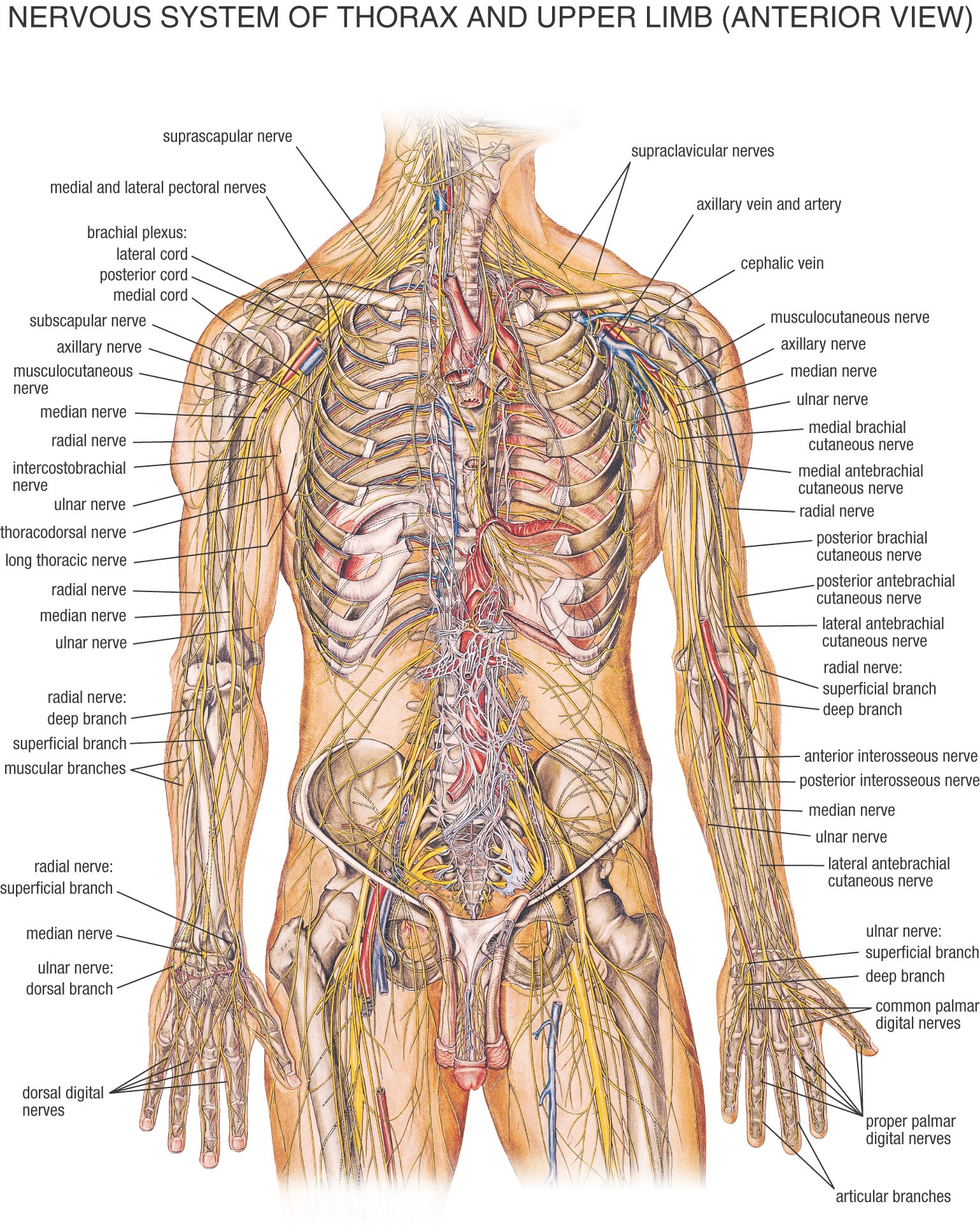 Organ systems of human body and their functions - 11