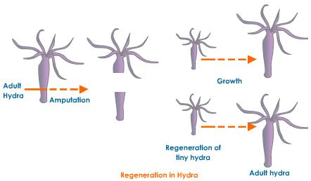 Brittle star asexual reproduction regeneration
