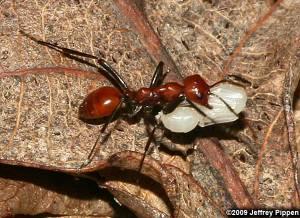 Amazon Ants