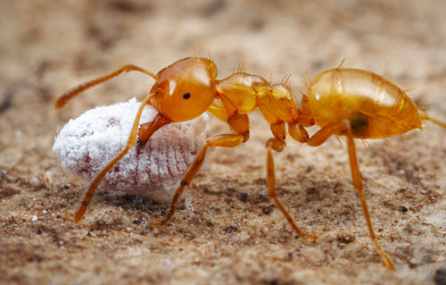 Citronella Ants. Kinds of Ants with pictures   7 Types   All in All News