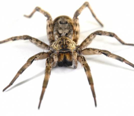 Why Spiders Bite Humans
