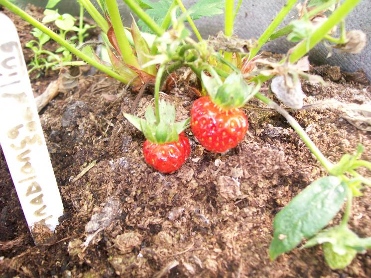 How To Grow Strawberries From Seeds 5 Steps