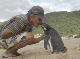Penguin Believed to Swim at least 5,000 Miles per Year just to Reunite with an Old Man