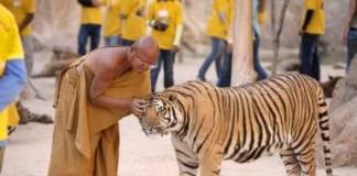 The Saddening Truth Behind Thailand's Tiger Temple Now Revealed