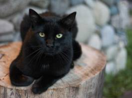 Five Amazing Facts About Black Cats